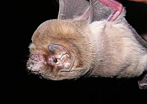 Mormoops megalophylla (Ghost-faced bat) (Peter's ghost ...